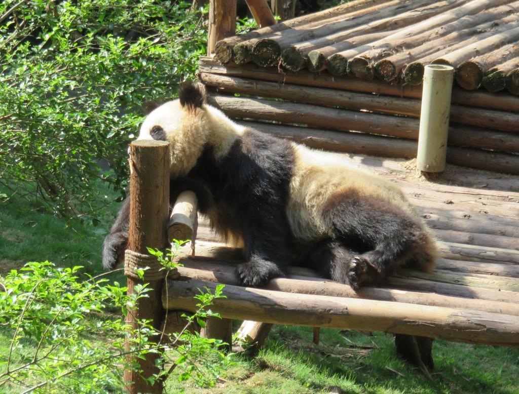 panda18