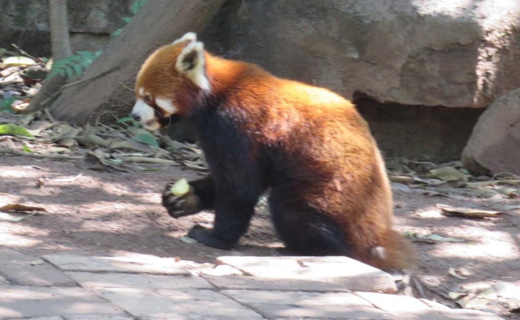 panda27